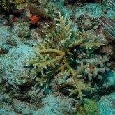 Caribbean Acropora Cervicornis Coral
